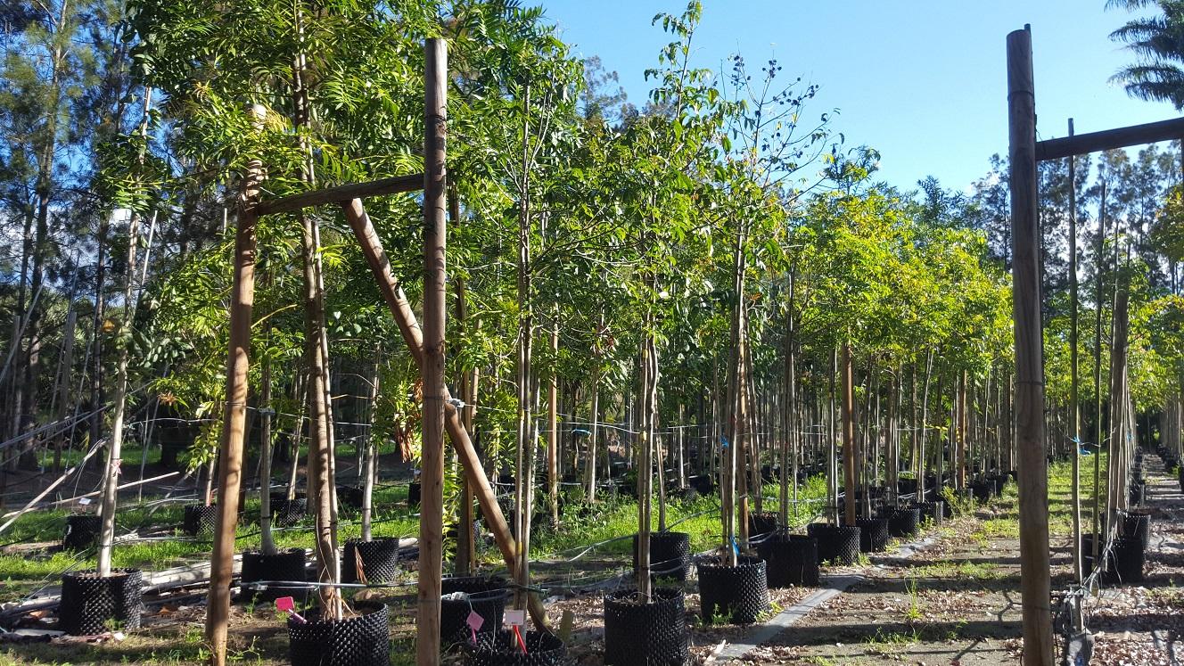 Vente exceptionnelle d'arbres endémiques à – 50%